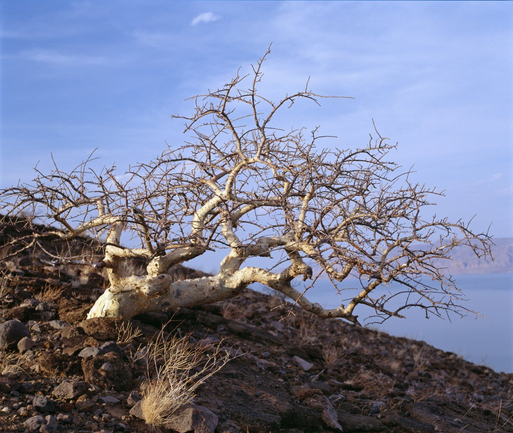 Stock Photo: 4272-17714 Kenya, Loiengalani, Lake Turkana. A commiphora tree bent by incessant wind at the southern end of Lake Turkana.