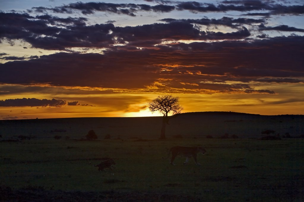 Stock Photo: 4272-17772 Kenya, Narok district, Masai Mara. Sunset in Masai Mara National Reserve with a lioness and her cubs in the foreground.