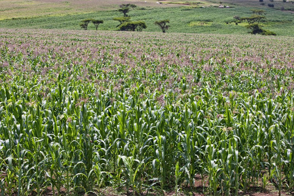 Stock Photo: 4272-18070 A healthy crop of white maize growing at Endebess.  Maize is the staple food of all Kenyans.