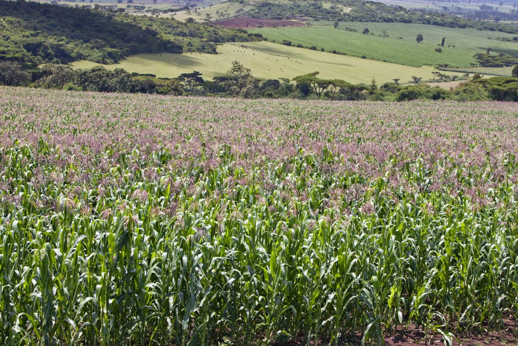 Kenya. A healthy crop of white maize growing at Endebess.  Maize is the staple food of all Kenyans. : Stock Photo