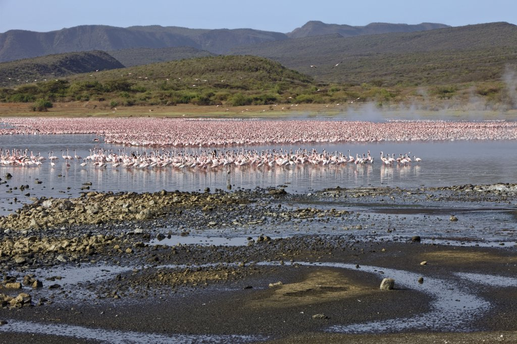 Kenya. Lesser flamingos feeding on algae among the hot springs of Lake Bogoria, an alkaline lake in the Great Rift Valley : Stock Photo