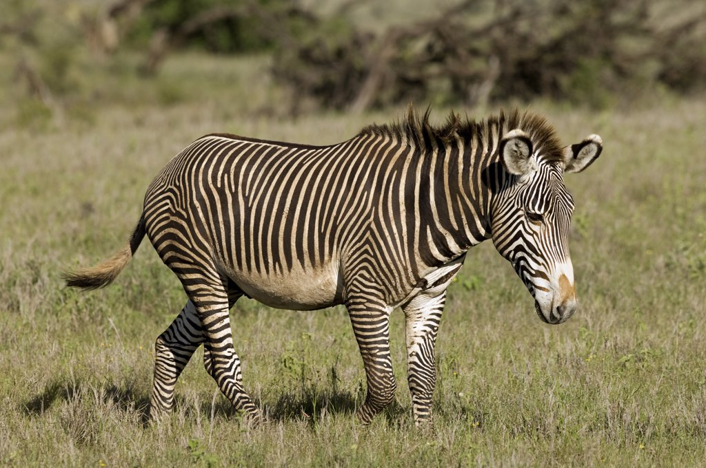 Kenya, Laikipia, Lewa Downs. A rare Grevy's zebra shows off its tight stripes and unusually large ears. : Stock Photo