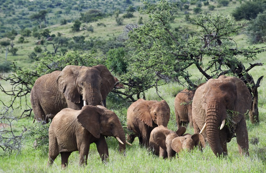 Kenya, Laikipia, Lewa Downs.  A family group of elephants feed together. : Stock Photo