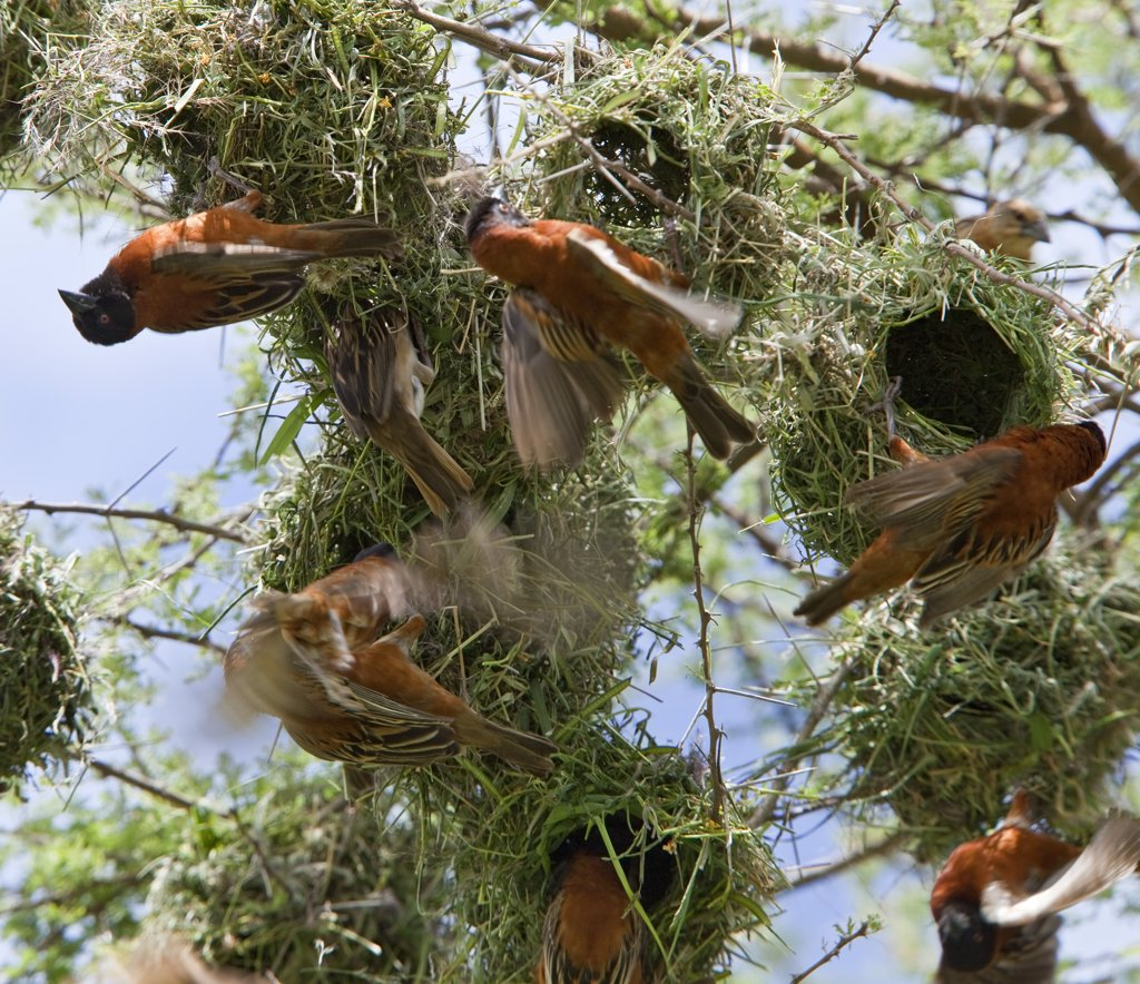 Stock Photo: 4272-18875 Chesnut weavers build their nests in close proximity to each other in an acacia tree on the plains of Tsavo West National Park during the rainy season.