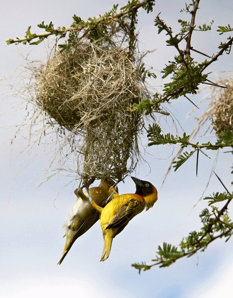 A pair of Lesser Masked weavers build their intricate nest in an acacia tree in Tsavo West National Park during the rainy season. : Stock Photo