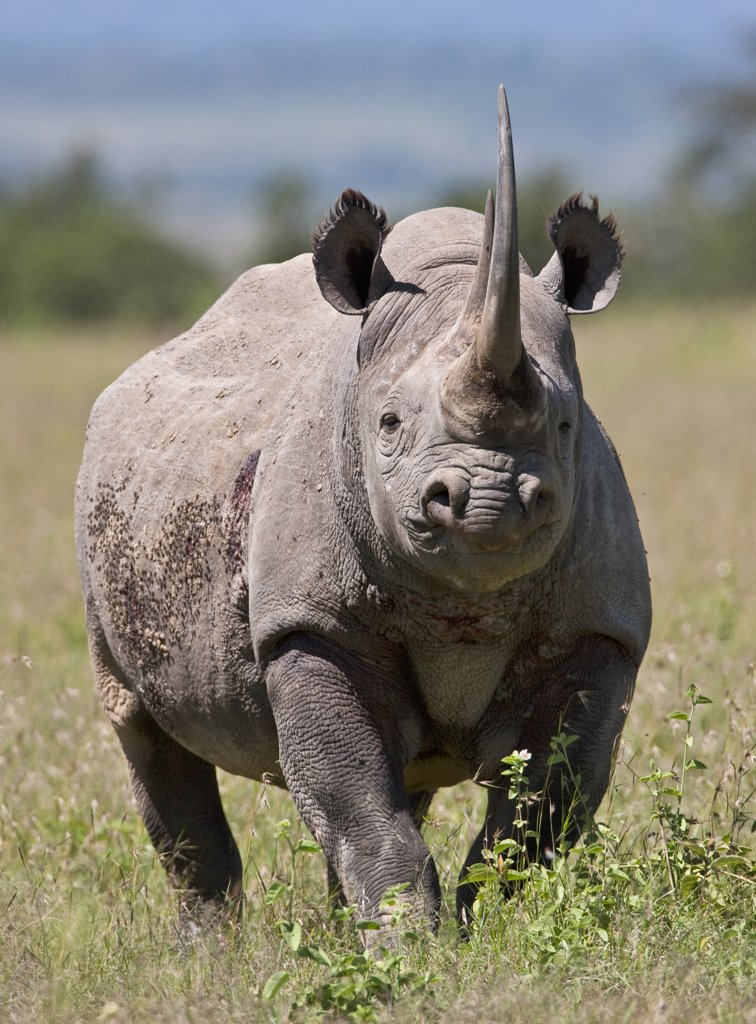 Stock Photo: 4272-18879 An alert black rhino. Mweiga, Solio, Kenya