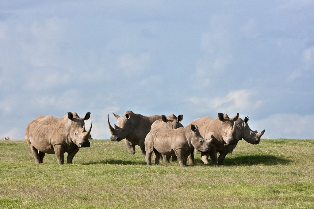 Stock Photo: 4272-18882 White Rhinos grazing on open plains at Solio Game Ranch. Mweiga, Solio, Kenya