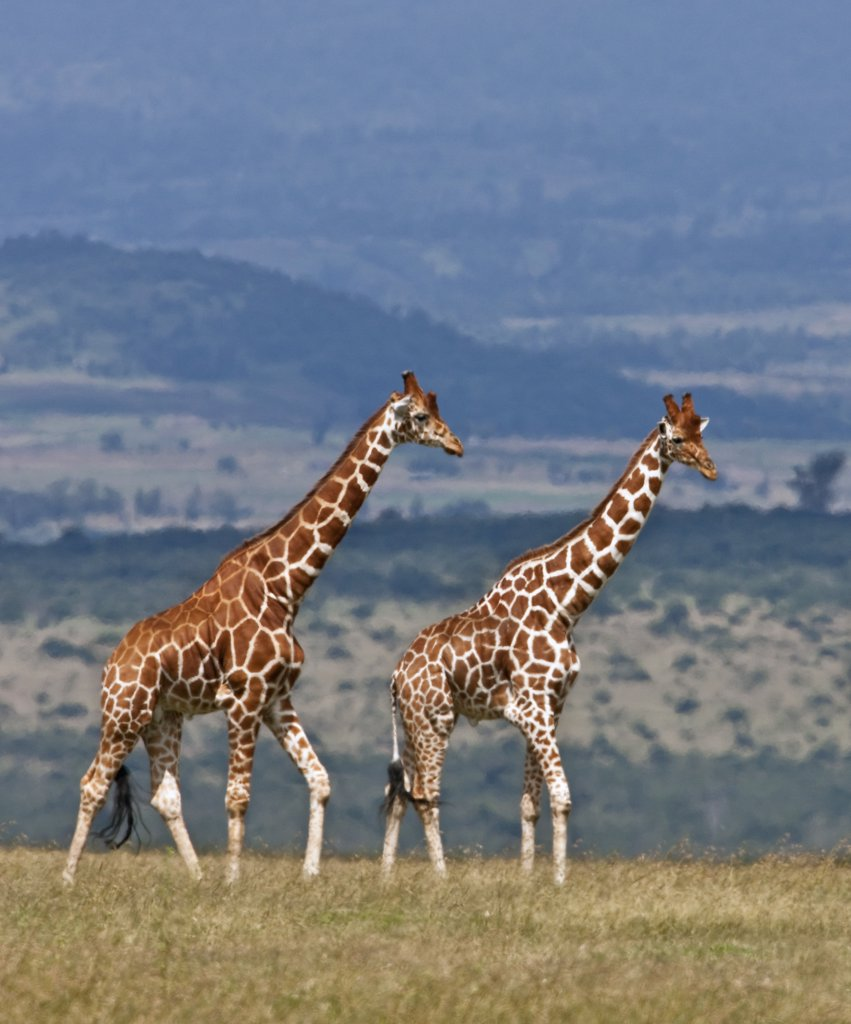 Stock Photo: 4272-18889 Reticulated giraffes. Mweiga, Solio, Kenya