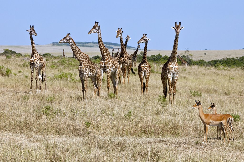 Two female impalas are dwarfed by Maasai giraffes on the plains of the Masai Mara National Reserve. : Stock Photo