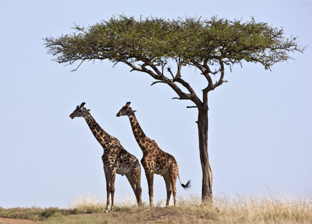 Two Maasai giraffes shade themselves beneath a Balanites tree on the plains of the Masai Mara National Reserve. : Stock Photo