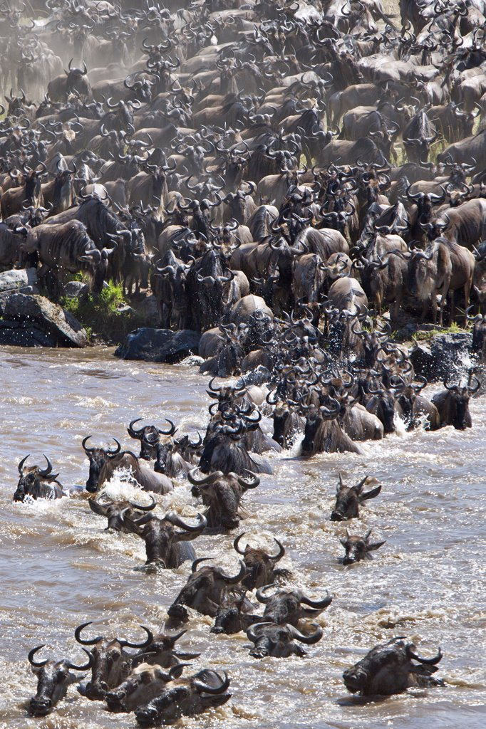 Stock Photo: 4272-18897 Wildebeest massing to cross the Mara River during their annual migration from the Serengeti National Park in Northern Tanzania to the Masai Mara National Reserve.