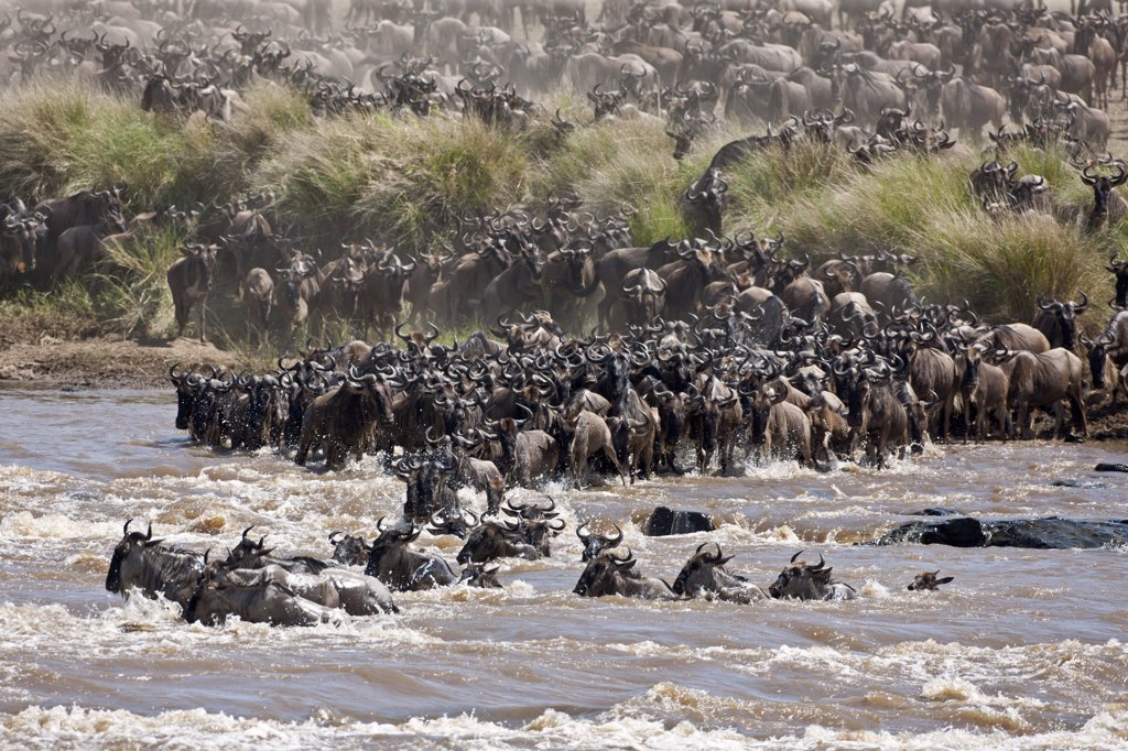 Stock Photo: 4272-18899 Wildebeest massing to cross the Mara River during their annual migration from the Serengeti National Park in Northern Tanzania to the Masai Mara National Reserve.