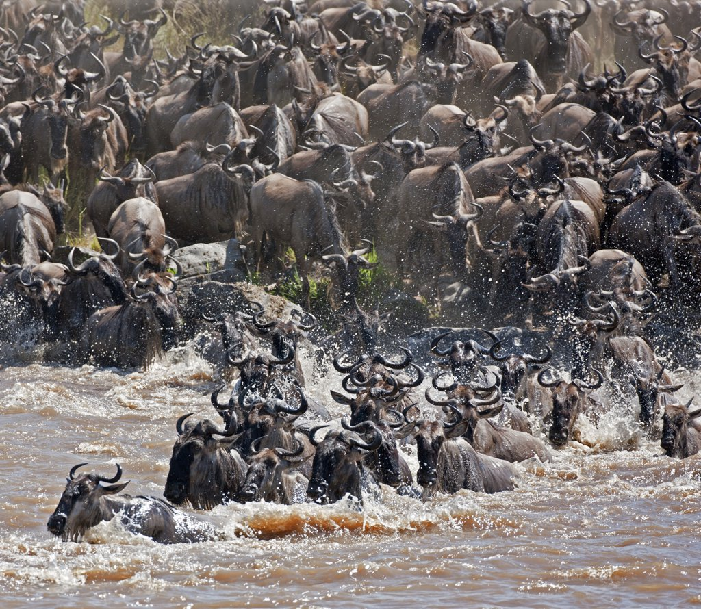 Stock Photo: 4272-18900 Wildebeest crossing the Mara River during their annual migration from the Serengeti National Park in Northern Tanzania to the Masai Mara National Reserve.