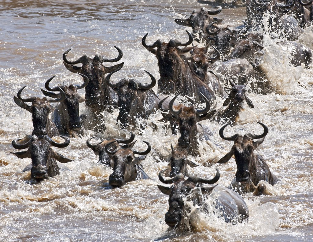 Stock Photo: 4272-18901 Wildebeest crossing the Mara River during their annual migration from the Serengeti National Park in Northern Tanzania to the Masai Mara National Reserve.