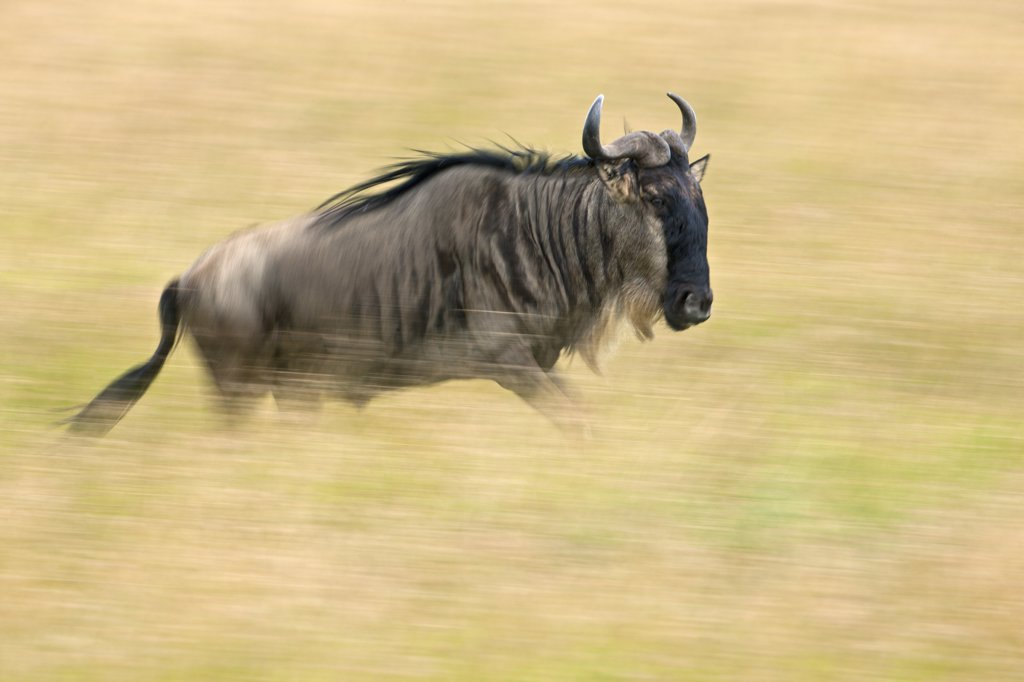 Stock Photo: 4272-18906 A wildebeest running through golden grass on the Mara plains during the annual Wildebeest migration from the Serengeti National Park in Northern Tanzania to the Masai Mara National Reserve.