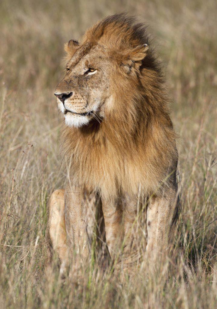 Stock Photo: 4272-18912 A fine specimen of a lion on the Mara Plains. Masai Mara National Reserve