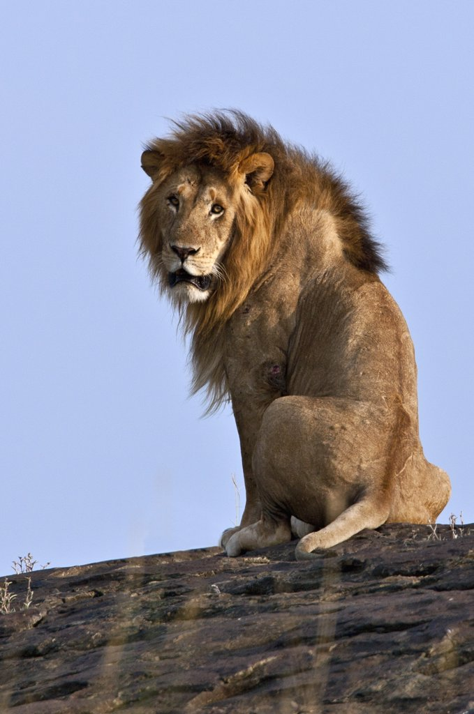 A magnificent lion sitting on a large boulder on the Mara Plains. Masai Mara National Reserve : Stock Photo