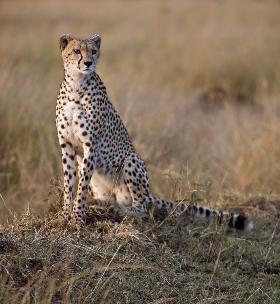 A female cheetah looking out for her potential prey in early morning sunlight. Masai Mara National Reserve : Stock Photo