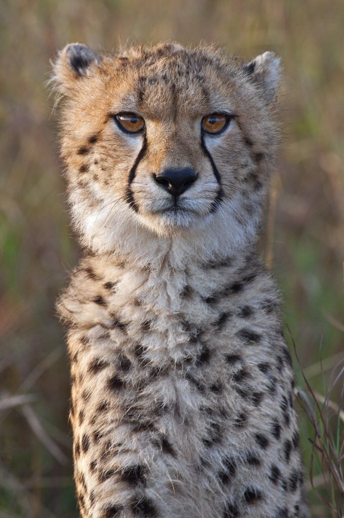 Stock Photo: 4272-18917 A young cheetah cub in early morning sunlight. Masai-Mara National Reserve
