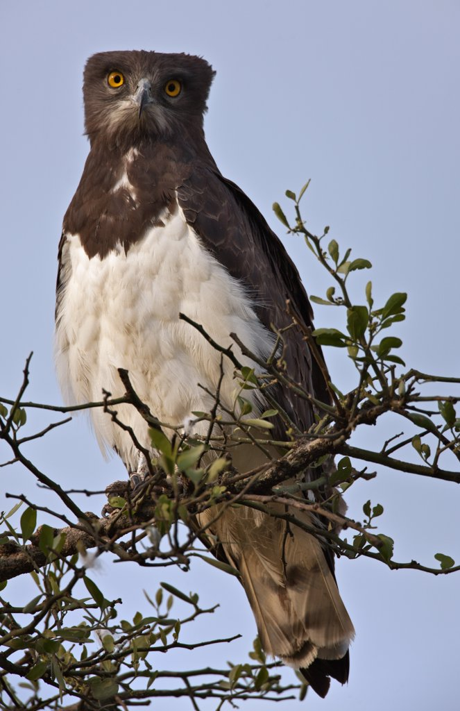 Stock Photo: 4272-18918 A Black-Chested Snake Eagle perching on a Balanites tree on the Mara Plains.