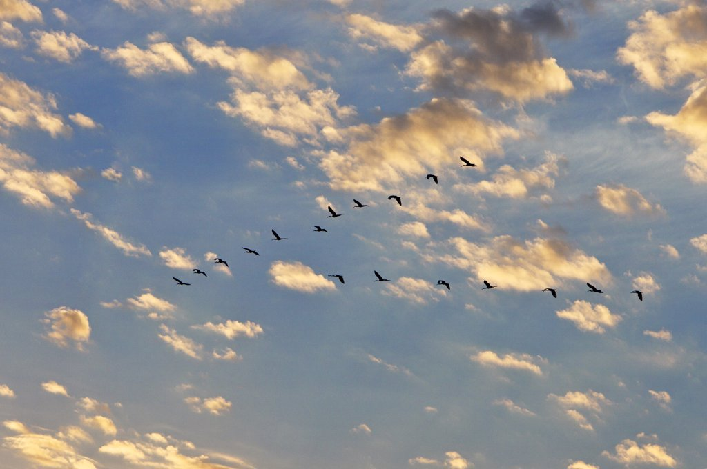 Stock Photo: 4272-18921 A flight of glossy ibises at sunrise. Masai Mara National Reserve