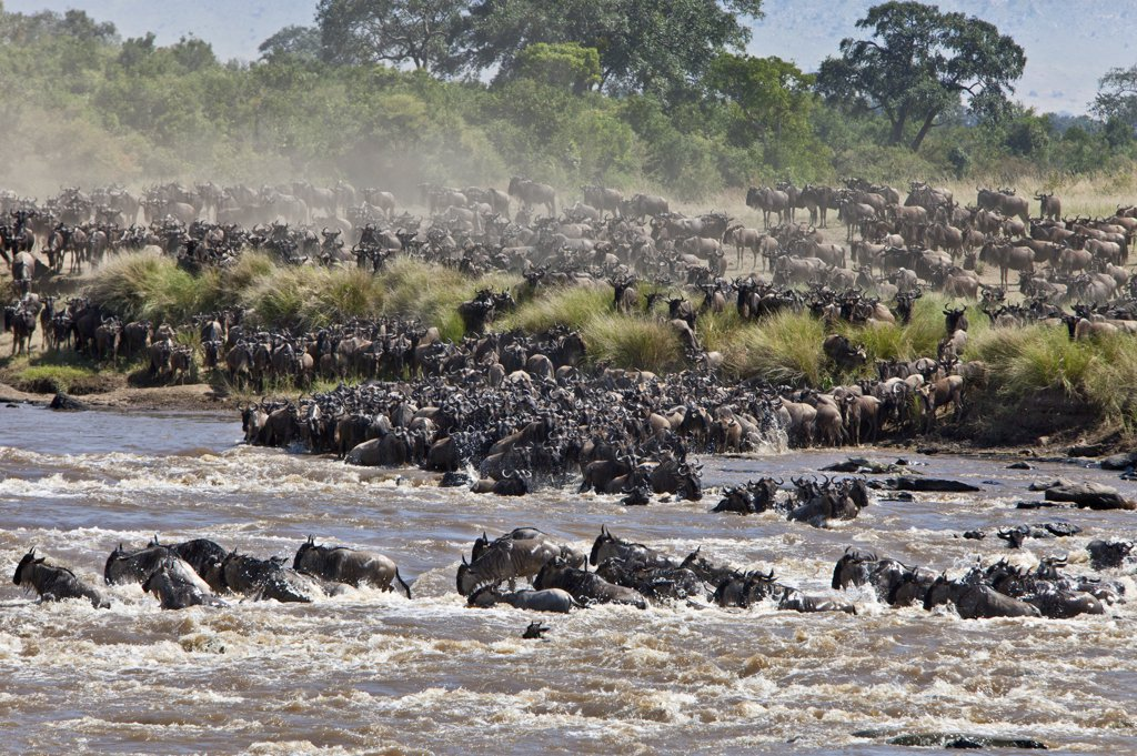 Wildebeest crossing the Mara River during their annual migration from the Serengeti National Park in Northern Tanzania to the Masai Mara National Reserve. : Stock Photo