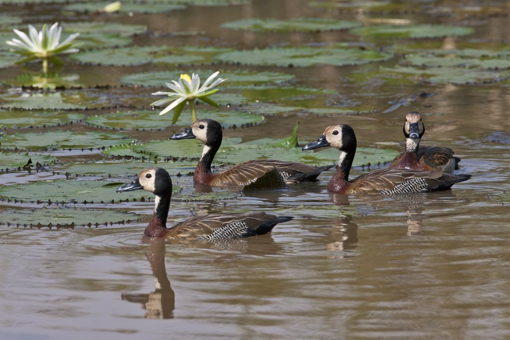 Stock Photo: 4272-18945 A small flock of White-faced Whistling Ducks in the Yala Swamp.