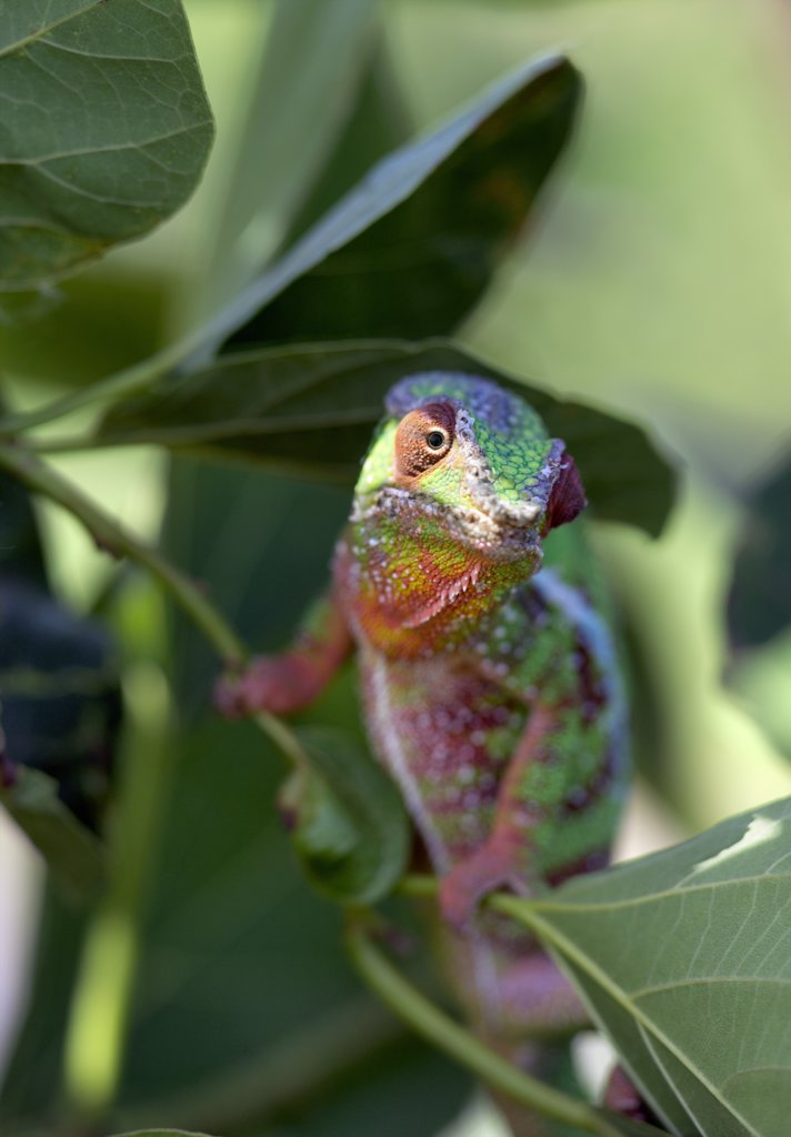 A male panther chameleon, Furcifer padalis. Madagascar is synonymous with these magnificent old world reptiles. Two thirds of all known species are native to the island, the fourth largest in the world. : Stock Photo