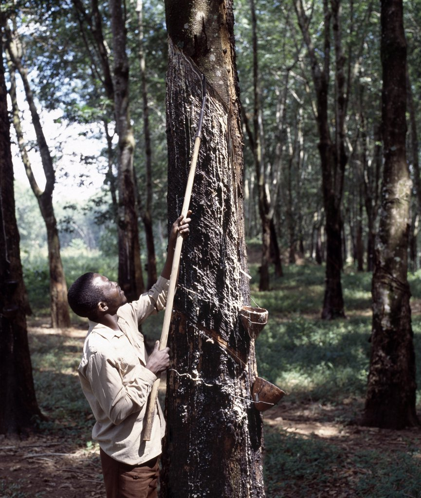 Stock Photo: 4272-22253 Rubber tapping at the Mandala Rubber Estates, near Nkhata Bay on the shores of Lake Malawi.