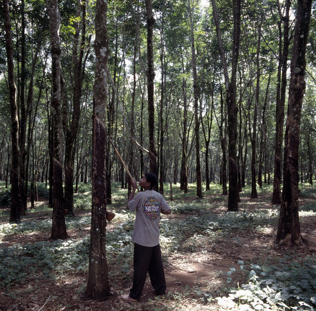Rubber tapping at the Mandala Rubber Estates, near Nkhata Bay on the shores of Lake Malawi. : Stock Photo