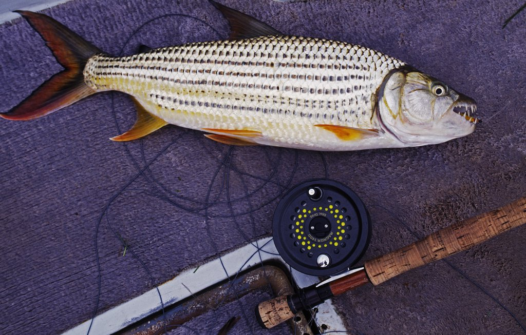 Stock Photo: 4272-22920 Tiger fish caught on the fly