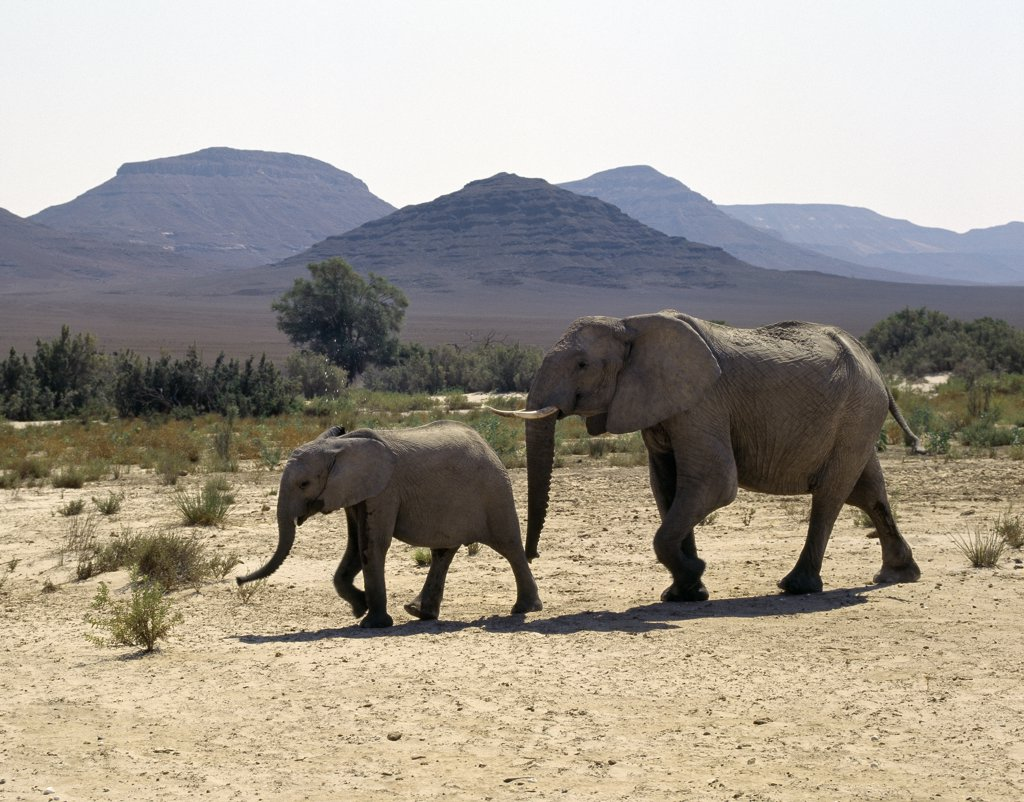 A female Desert elephant and her offspring cross the seasonal Hoarusib River.  A permanent spring rises close to Purros and flows into the Hoarusib, giving animals a vital watering place during the long dry season of this desolate land. : Stock Photo