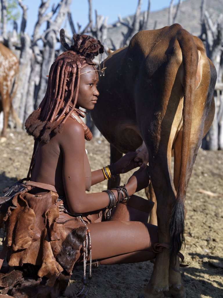 A Himba woman milks a cow in the stock enclosure close to her home. Traditional milk containers made from hollowed wood are preferred to their modern equivalents.The Himba are Herero speaking Bantu nomads who live in the harsh, dry but starkly beautiful landscape of remote northwest Namibia. : Stock Photo