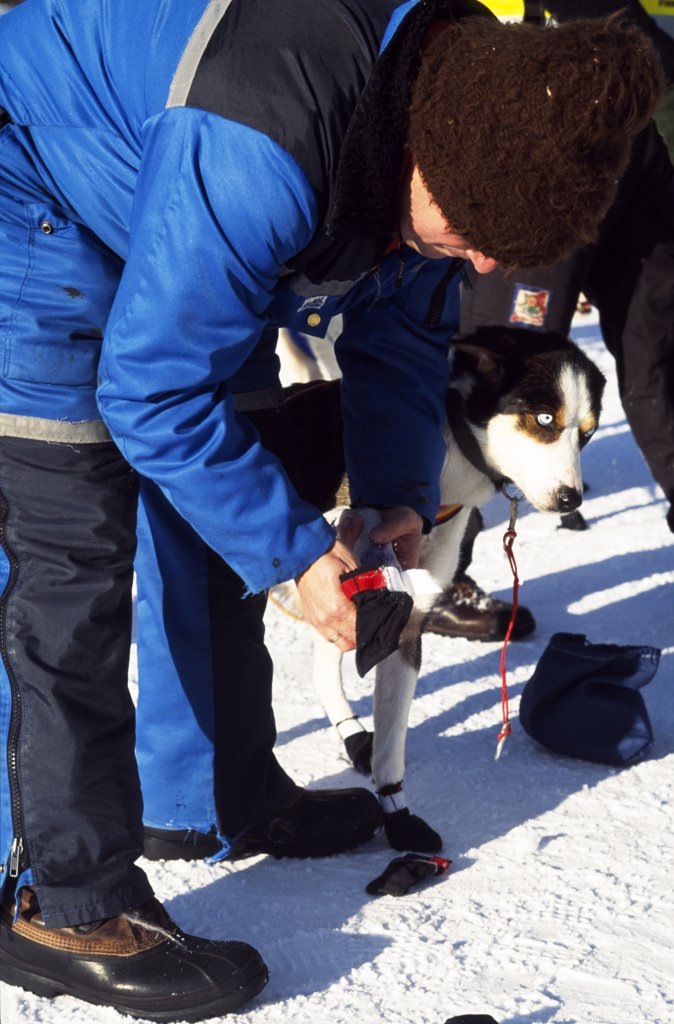 Fitting booties for dog taking part in the Finnmarkslopet dogsled race from Alta, the longest and northernmost sled dog race in Europe. Arctic Circle, Northern Norway : Stock Photo