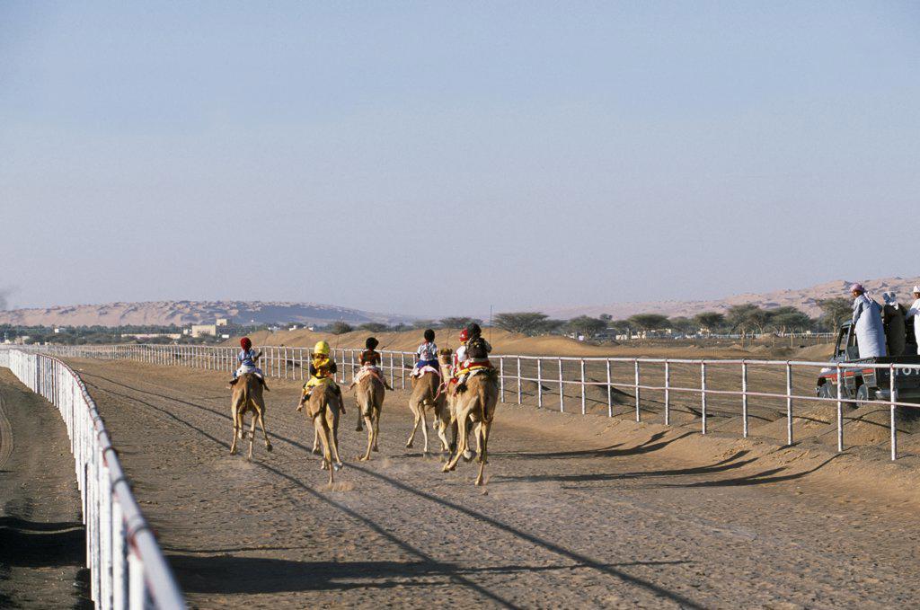 Racing camels gallop down the track at Al Shaqiyah races. : Stock Photo