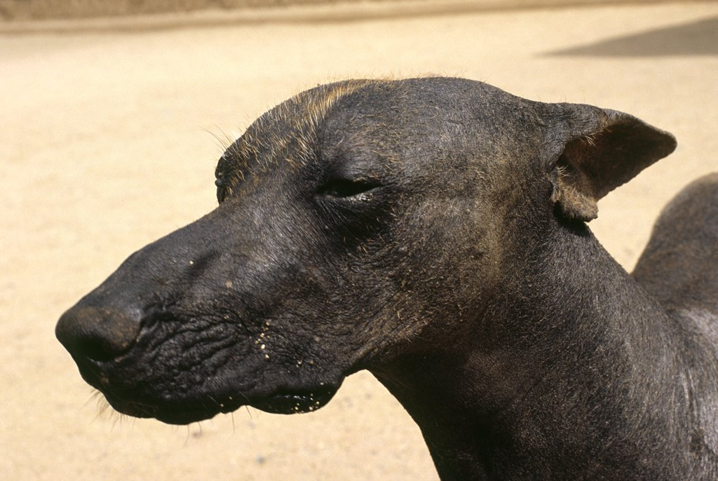 Stock Photo: 4272-25440 A Peruvian hairless dog helps guard the Chimu site of Chan Chan in northern Peru. This breed is thought to have been around before the Incas and served as a lap dog (the breed is warm to the touch) and a source of meat for Peruvian nobility.