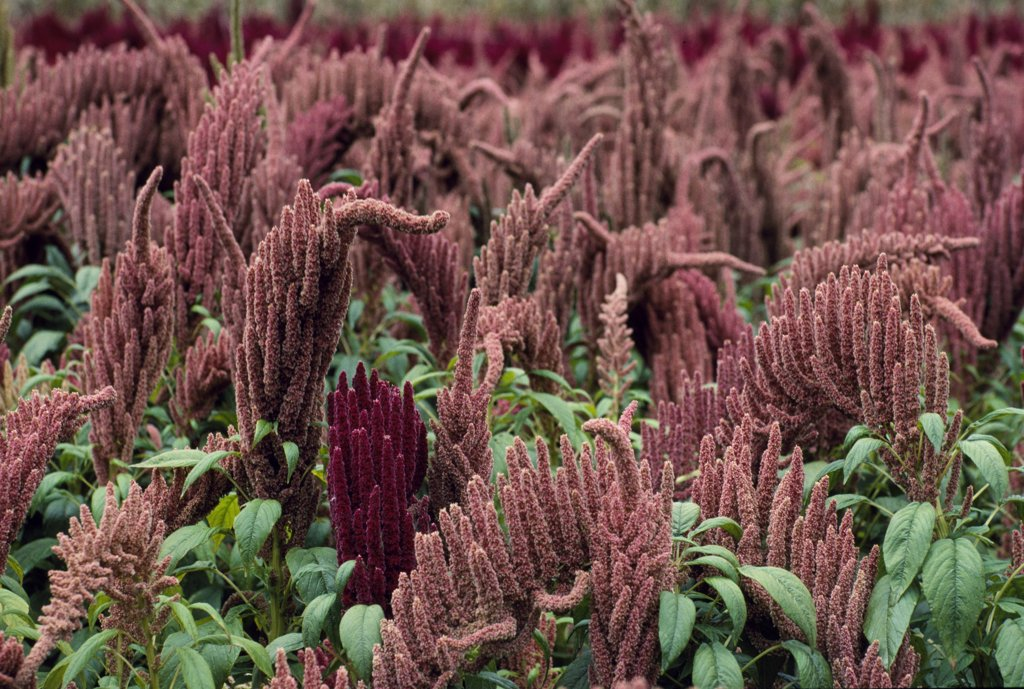 Quinoa is the highest protein grain in the world. NASA used it for early space food and it was a principal part of the diet in Inca times. It grows only above 3,000 metres above sea level at this latitude. Soups and porridge-like meals are made from it as well as biscuits and cakes. When served it resembles cous-cous. : Stock Photo