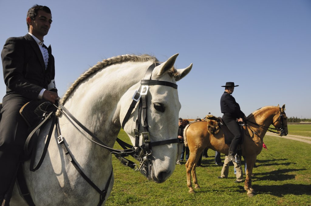 Lusitano portuguese horses. A pure breed of Portugal : Stock Photo