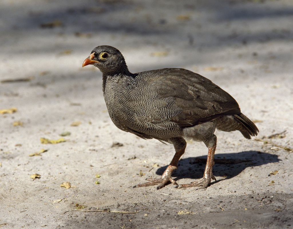 A red-billed Francolin, Francolinus adspersus, in the Moremi Wildlife Reserve.  Only males of this common dry country species have spurs Moremi incorporates Chiefs Island and was the first reserve in Africa to be created by indigenous Africans. : Stock Photo