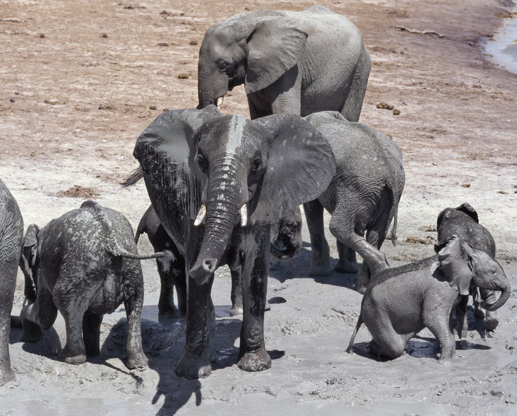 Stock Photo: 4272-2674 A large herd of elephants drink at the Chobe River. Elephants can go several days without water but drink and bathe daily by choice. In the dry season when all the seasonal waterholes and pans have dried, thousands of wild animals converge on the Chobe River, the boundary between Botswana and Namibia. The park is justifiably famous for its large herds of elephants and buffaloes.