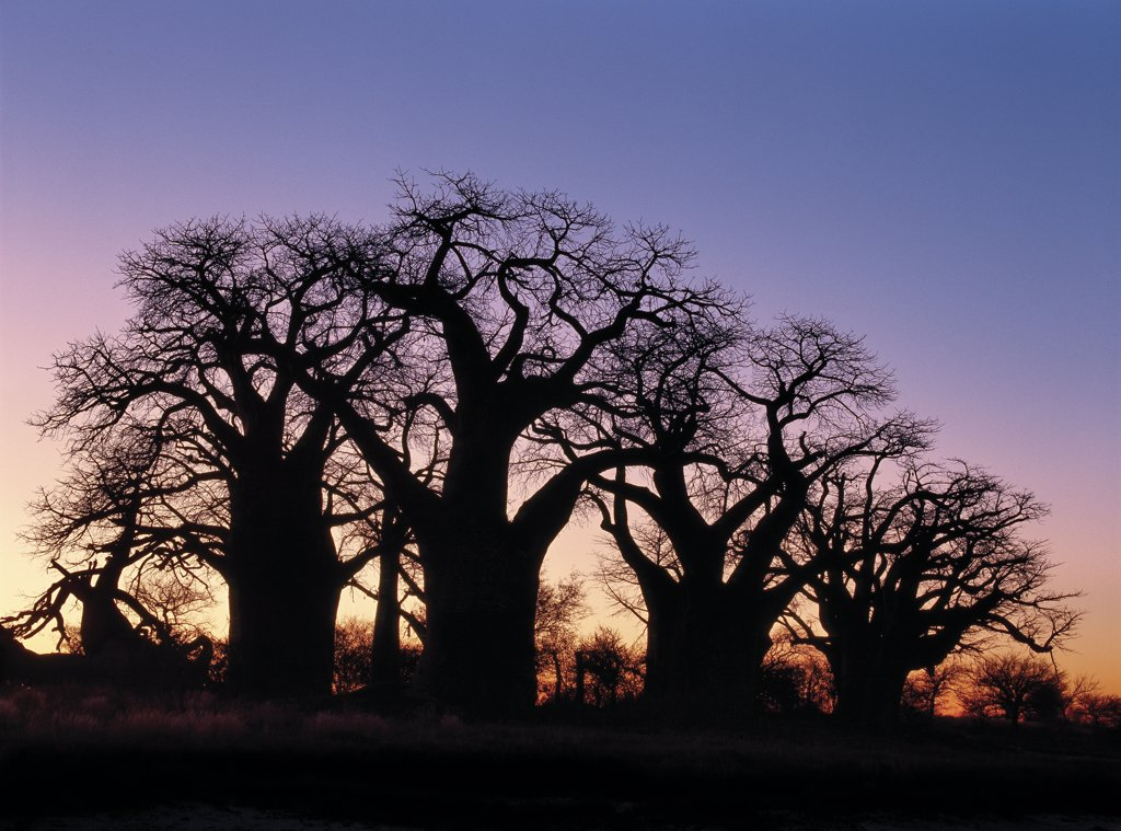 A dawn sky silhouettes a spectacular grove of ancient baobab trees, known as Baines Baobabs, which perches on the eastern edge of the Kudiakam Pan in the Nxai Pan National Park. : Stock Photo