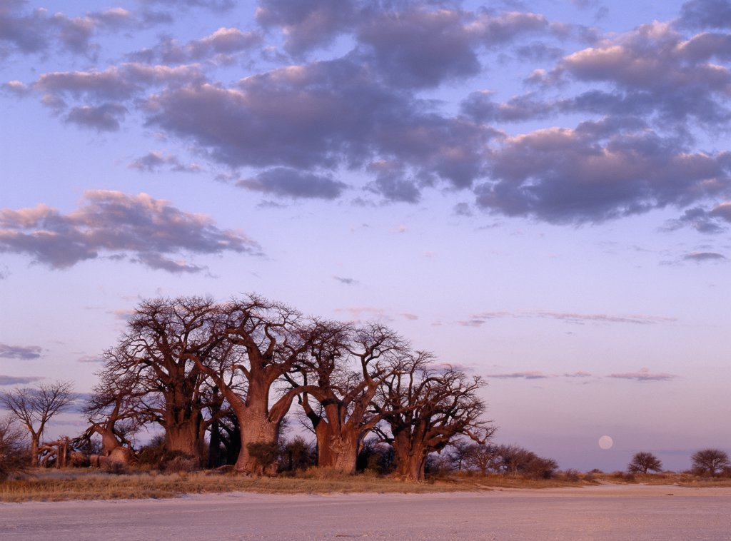 A full moon rises over a spectacular grove of ancient baobab trees, known as Baines Baobabs, which perches on the eastern edge of the Kudiakam Pan in the Nxai Pan National Park. : Stock Photo