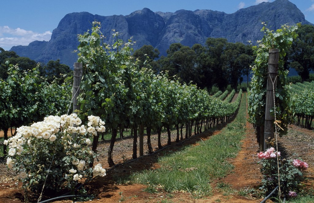 Thelema Mountain Vineyards near Stellenbosch : Stock Photo