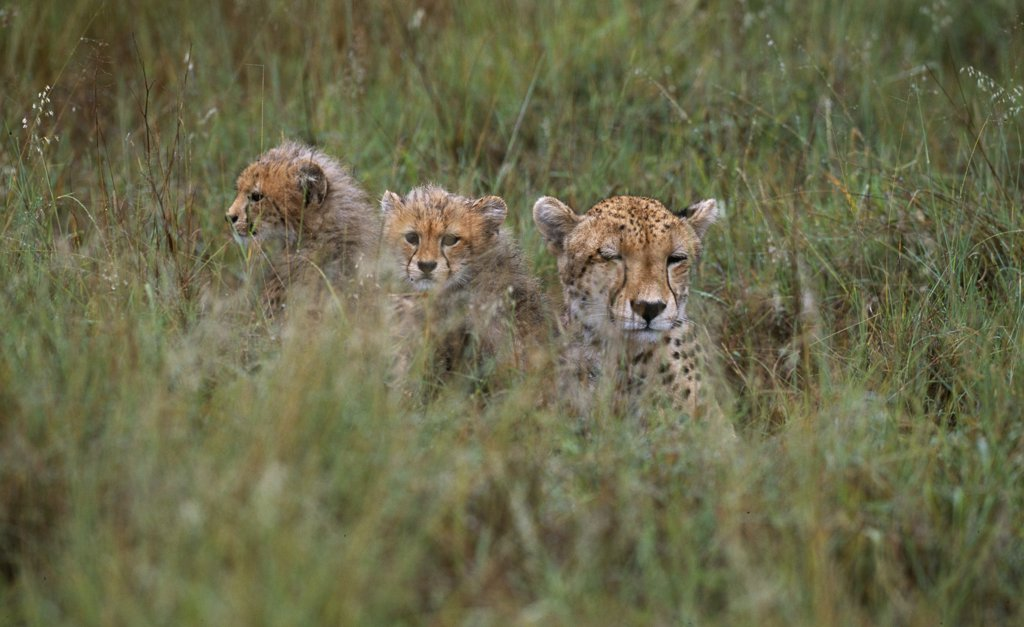 Stock Photo: 4272-27729 Cheetah & 2 cubs (Acinonyx jubatus)