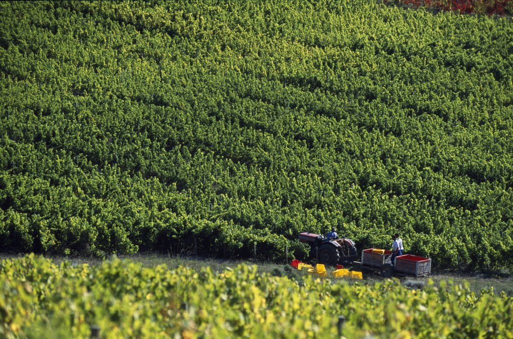 Grape pickers, Bouchard Finlayson vineyard : Stock Photo