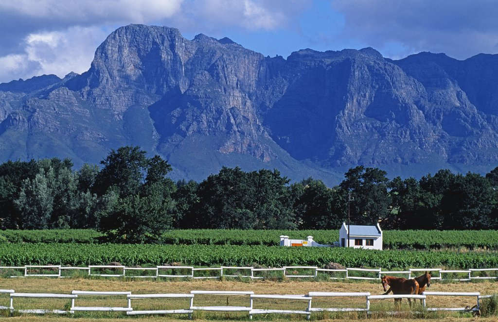 Horse paddocks amidst the vineyards in Franschoek Valley. Franschoek. Western Cape, South Africa : Stock Photo