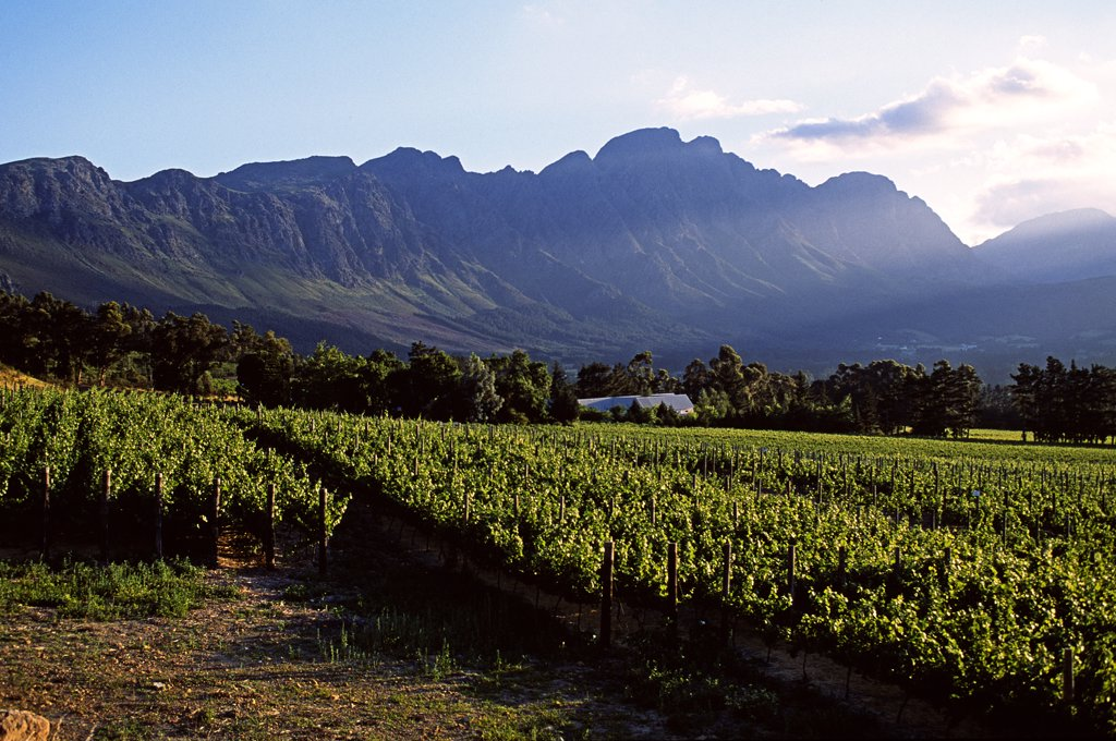 Vineyard at Franschoek, Western Cape, South Africa : Stock Photo