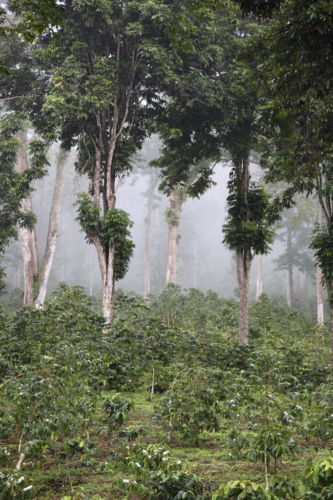 The trees in the background of the photo are called Eritrineira which produces an orange flower when it rains. In this photo it is on the Roca Nova Moca where it is used to provide shade for the coffee bushes.The plantation Roca Nova Moka is in Sao Tome and Principe. : Stock Photo