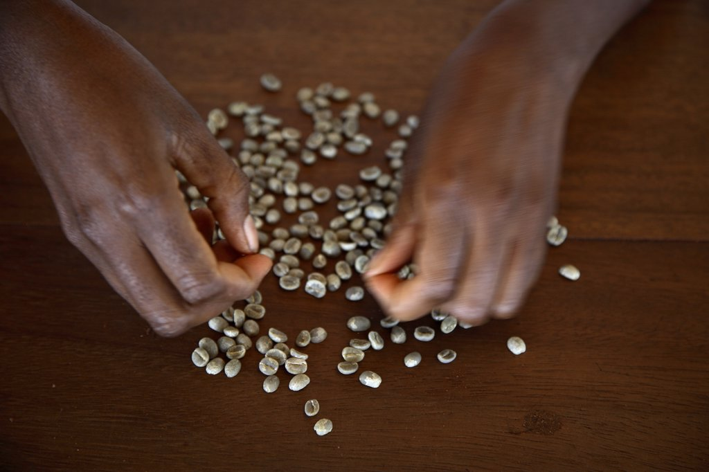 Stock Photo: 4272-28725 expert hands sort through coffee beans on the plantation Roca Nova Moka in Sao Tome and Principe. The plantation is 12 hectares in size, but was once part of the much larger plantation Monte Cafe. It lies in the North West of Sao Tome and Principe.
