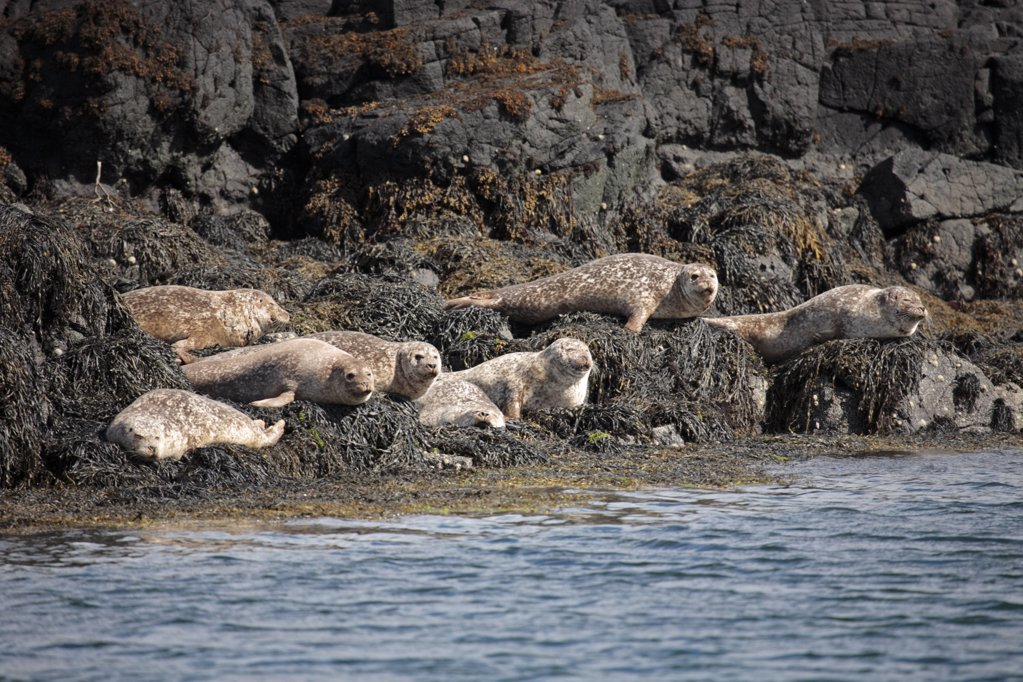 Stock Photo: 4272-28940 Scotland, Isle of Mull. Common or Harbour seals hauled out on rocky islands near Tobermory.